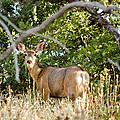 Utah Mule Deer by Donna Greene