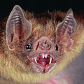 Vampire Bat Desmodus Rotundus Portrait by Michael & Patricia Fogden