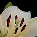 Vanilla Lily by Susan Herber