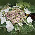 Variegated Lace Cap Hydrangea - Pink And White by Mother Nature