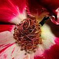 Variegated Rose Close Up 2011 by Robert Morin