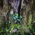 Velvet Ivy by Doug Sturgess