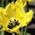 Venus Flytrap Tulip by Eric Hobart