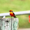 Vermilion Flycatcher by Diana Hatcher