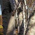 Vermont Birch by Margaret Steinmeyer