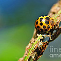 Very Hungry Ladybird 2 by Kaye Menner