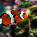 Vibrant Clownfish  by Rachel Duchesne