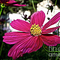 Vibrant Cosmos by Susan Herber