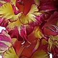 Vibrant Gladiolus by Susan Herber