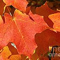 Vibrant Maple by Susan Herber