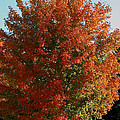 Vibrant Sugar Maple by Susan Herber