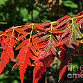 Vibrant Sumac by Susan Herber