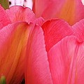 Vibrant Tulips by Bruce Bley