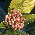 Viburnum Tinus Flower Buds by Archie Young