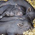 Vietnamese Pot-bellied Piglets by David Aubrey
