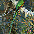 View Of A Male Resplendent Quetzal by Roy Toft