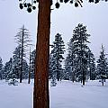 View Of A Ponderosa Pine Surrounded by Raymond Gehman