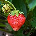 Vine Ripened Strawberry by Susan Herber