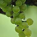 Vineyard Grapes I by Deborah M Rinaldi