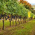 Vineyard by Jean Noren