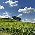 Vineyard Of Saint-emilion. Gironde. Aquitaine. France by Bernard Jaubert