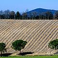 Vineyard On A Hill With Trees by Mats Silvan