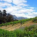 Vineyard by Paul Fell