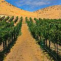 Vineyard by Robert Bales