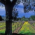 Vineyard View by Kathy Yates