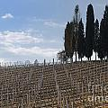 Vineyard With Cypress Trees by Mats Silvan