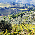Vineyards And Olive Groves by Jeremy Woodhouse