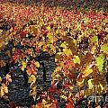 Vineyards At Fall by Sami Sarkis