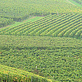Vineyards Near St Emilion In The Mist by Greg Matchick