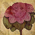 Vintage Cabbage by Bonnie Bruno