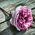 Vintage Pink English Rose And Peeling Paint by Kathy Clark