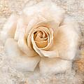 Vintage Rose V Square by Jai Johnson