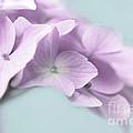Violet Hydrangea Flower Macro by Jennie Marie Schell