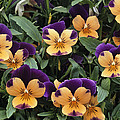 Violets by Archie Young