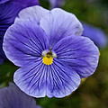 Violets Are Blue by Susan Herber