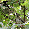Vireo And Cowbird by Doris Potter