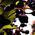 Virginia Creeper Fruit by Renate Nadi Wesley
