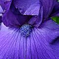 Vision In Violet by Susan Herber