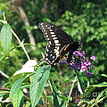 Visit From A Black Swallowtail by Nancy Patterson