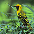 Vitelline Masked Weaver by Tony Beck