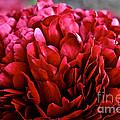 Vivid Red by Susan Herber