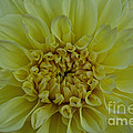 Vivid Yellow Dahlia by Susan Herber