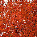 Vividly Sugar Maple by Susan Herber