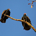 Vultures On A Branch by Doris Potter