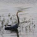Wading Blue Heron - Ardea Herodias by Kathy Clark