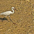Wading For A Meal by Beverly Hanson